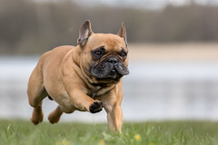 french bulldog (Bea Antoni) Tags: canon action haustier pet animal tier fremchbulldog franzsischebulldogge hund dog