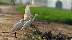 Cattle Egrets (Babar@Graphy) Tags: asia pakistan lahore nikon bird birds wildlife wild egrets cattle egret scene fields photography