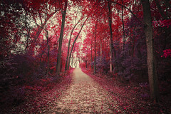 Technicolor: The Final Chapter (Anthonypresley1) Tags: anthony presley anthonypresley illinois old retro vintage nature landscape woods wood forest autumn fall tree trees pink purple yellow