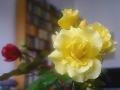 roses (judydeanclasen) Tags: indoors roses yellow