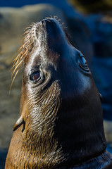 Baby Sea Lion (Joshua Kling) Tags: animal animals baby seal cute mammal marine ocean sea water pacific san diego wildlife