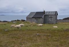 By the fjord (AstridWestvang) Tags: animals barn coast finnmark haminingberg varanger building