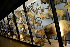 Horned Hall (dhcomet) Tags: nhm animals birds stuffed tring museum herts hertfordshire fauna rothschild display case horned cloven mammal