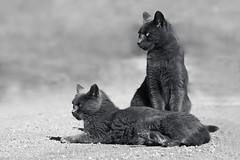 Guardian (Luis-Gaspar) Tags: animal cat gato gatoderua streetcat feline felino outdoor beach praia nina nino mono monochrome monocromatico bw pb nikon d60 55300 f8 12000 iso400