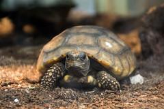 Turtle (grasso.gino) Tags: tiere animals natur nature zoo dortmund nikon d5200 schildkrte turtle waldschildkrte