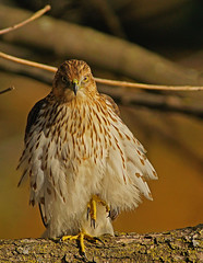 Coopers Hawk 11/18/16 (SteveJnerChicago) Tags: hawk coopershawk bird nature wildlife raptor chicago