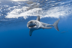 Oh, hello! (George Probst) Tags: greatwhiteshark grandrequinblanc tiburonblanco weiserhai shark water fish underwater blue smile diving ocean mexico baja pacific outdoor wildlife