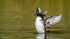 Hooded Merganser (m) - [Explored] (Bob Gunderson) Tags: california goldengatepark hoodedmerganser lloydlake lophodytescucullatus mergansers northerncalifornia sanfrancisco