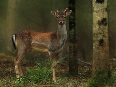 Spooked (Nickerzzzzz - Thanks for stopping by :)) Tags: nickudy nickerzzzzz canoneos70d ef100400mmf4556lisiiusm wildlife fallowdeer male prickett damadama buck cervidae mammal animal antlers