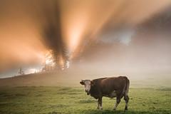 neugierige Kuh (louhma) Tags: kuh sonnenstrahlen sonnenaufgang nebel