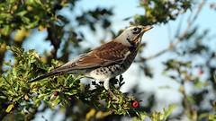 Fieldfare (Explore) (NickWakeling) Tags: fieldfare birds thrush canon60d cleymarshes cleynextthesea cley norfolk nature northnorfolk norfolkwildlifetrust wildlife sigma150600mmf563dgoshsmcontemporary