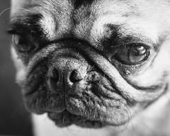 Heitu-00070 (kiddfei2012) Tags: pug dog pet puppy