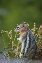 Pondering It All (JeffMoreau) Tags: chipmunk chippy yellowstone national park wyoming wildlife cute macro bokeh bokehlicious sony a77ii dof
