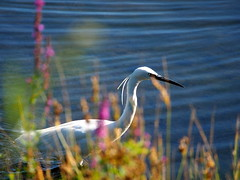 Egret... (quarzonero ...Aldo A...) Tags: egret egrettagarzetta bird nature river coth coth5 sunrays5