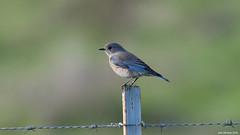 Western Bluebird (John McGinty) Tags: westernbluebird
