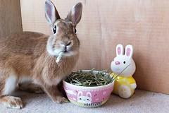 Ichigo san 461 (mensore) Tags:  rabbit bunny netherlanddwarf brown cute pet family ichigo