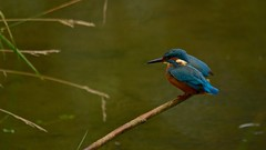 The Kingfisher Shuffle (J @BRX) Tags: kingfisher alcedoatthis adeldam goldenacrepark bramhope leeds yorkshire england uk september2016 autumn bird fishing waterbirds yorkshirewildlifetrust