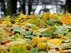 Fall Leaves I (Grim Fandango) Tags: fall autumn herbst leaves maple ahorn