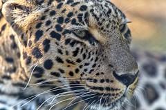 dangereusement proche (rondoudou87) Tags: panthre panther panthera face portrait close closer pentax k1 natur nature parc zoo reynou moustache wild wildlife wildcat
