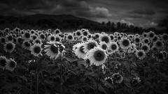 The World of Small Things-38 (Ravikumar Jambunathan) Tags: sunflower farm mountain nature travel india ravikumar jambunathan