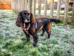 Belle (Aliy) Tags: kent autumn autumnal wintery cold frosty belle dog spaniel park playpark playarea frost winter