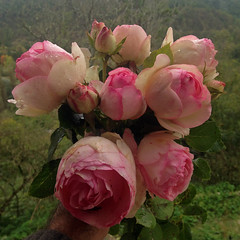 last roses (RoBatEye) Tags: roses pierrederonsard