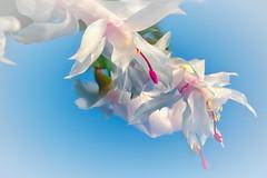 Ja ist denn heut schon... (novofotoo) Tags: blau blumen christmascactus focusstacking kakteengewchse makro motiv natur pflanzen schlumbergera weihnachtskaktus blue flowers macro nature