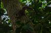 Sciurus (Guerlingertus) ingrami (12) (Calebe Mendes) Tags: sciurus ingrami aestuans ubatuba sãopaulo esquilo squirrel guerlinguetus
