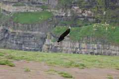 Cliffs of Moher - Raven (ManuWolf) Tags: cliffsofmoher aillteanmhothair coclare ireland