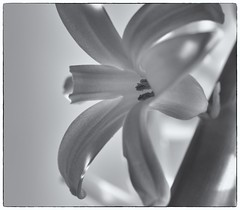 252 Hyacinth (Helena Johansson 71) Tags: hyacinth flower blackandwhite blackwhite monochrome closeup macro nikond5500 d5500 nikon project365 christmasflowers photoborder whitebackground
