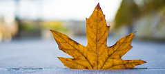 Maple leaf on a chilly morning (el_cheffo) Tags: depthoffield leaf plant foliage outdoor outside bokeh brown maple mapleleaf autumn