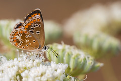 Polyommatus icarus (Eduardo Estllez) Tags: polyommatusicarus mariposa macho animal insecto lepidoptera invertebrado entomologia natural naturaleza medioambiente flores horizontal color macro primerplano enfoquediferencial fondodifuso alas antenas silvestre barruecos extremadura eduardoestellez estellez espaa