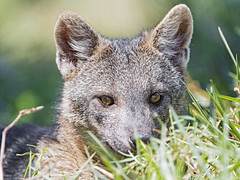 Shy close fox (Tambako the Jaguar) Tags: close crabeatingfox fox canine canid male lying portrait cute grass wildanimal wild wildlife nature pantanal matogrosso brazil nikon d5