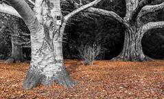 Birch tree - Westonbirt Arboretum (P Makin) Tags: birch tree westonbirt arboretum autumn trees