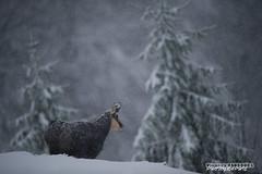 Vaincre le froid, Vosges (Vianney Vaubourg) Tags: chamois montagne hohneck vosges alsace lorraine france neige animalier sapin flocons blanc brouillard nikon d3s nikkor 400f28 fl ed vr vianney vaubourg photographie 2016