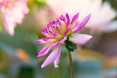 Dahlia (mclcbooks) Tags: dahlia dahlias flower flowers floral macro closeup denverbotanicgardens colorado