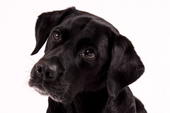 Buddy (Flemming Andersen) Tags: animal black buddy retreiver dog hund labrador looking hurupthy northdenmarkregion denmark dk