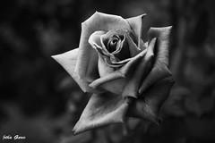 Glamour (Jotha Garcia) Tags: blackwhite flor flower belleza beauty monocromo monochrome unmundosincolor rosa rose planta plant jothagarcia nikond3200 noviembre november otoño autumn glamour 2016 flickrunitedaward