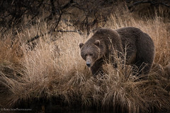 Thankful (rishaisomphotography) Tags: thankful givingthanks thanksgiving bear kodiak alaska wildlife wildlifephotography wild grizzlybear sow mommabear predator apex furry mammal carnivore omnivore nature naturephotographer usfws knwr grass river gold brown saturation canon