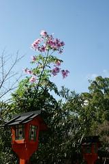 DSC02829 (MrSUIZOU) Tags: 京都 紅葉 北野天満宮 平野神社 十月桜