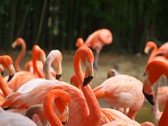 Flamingos (Streetfire2007) Tags: done