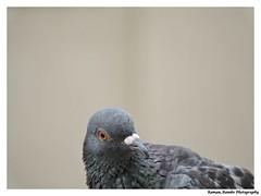 Pigeon (Raman_Rambo) Tags: pigeon pigeons india indian photography bird birds nature natural beauty beautiful raman ramansharma ramansharmadombivli