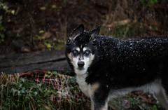 First Snowfall (Mason Aldridge) Tags: puppy dog pup cute sweet husky alaskan snowfall winter snow frost ice adorable aww canon 6d 80200 r28 magicdrainpipe drainpipe 70200 pet pets