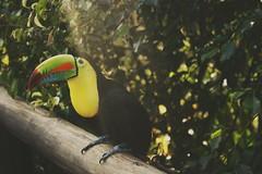 Tucn (santiagoarango2) Tags: colombia pereira nature birds canon ave tucn toucan