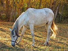 De que color es el caballo blanco de Santiago? (kirru11) Tags: caballo otoo campo atardecer rboles hierva quel larioja kirru11 anaechebarria canonpowershot