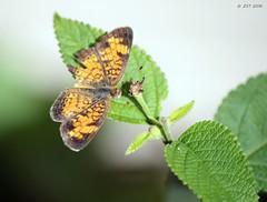 Tattered Checkerspot (zeesstof) Tags: backyard butterfly home insect lantana nymphalinae pearlcrescent phyciodestharos plant texas thewoodlands truebrushfoot vegetation zeesstof