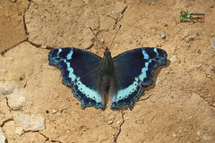The Blue Admiral - ผีเสื้อปีกแหว่ง (Antonio Giudici Butterfly Trips) Tags: thailand chiangmai chiangdao butterflies lepidoptera theblueadmiral ผีเสื้อปีกแหว่ง nymphalidae nymphalinae kaniskacanacecanace