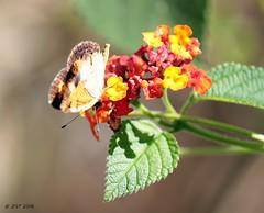 Checkerspot on Lantana (zeesstof) Tags: backyard blossom butterfly flower home insect lantana nymphalinae pearlcrescent phyciodestharos plant texas thewoodlands truebrushfoot vegetation zeesstof