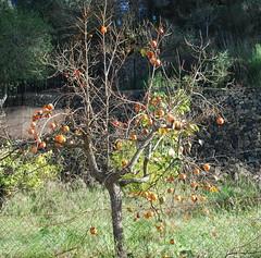 "Galilea (75) & fruit <a style=""margin-left:10px; font-size:0.8em;"" href=""http://www.flickr.com/photos/122939928@N08/31454309835/"" target=""_blank"">@flickr</a>"