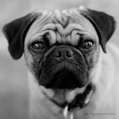 Focus right on the nose (Forty Dee) Tags: blackandwhite bw dog pets cute animal pug fujifilmxt1 fujinonxf90